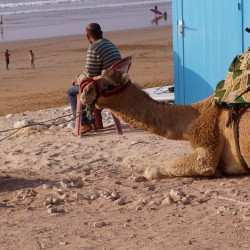 Ausrittkamel am Strand