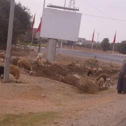 Kleine Schafherde am Kreuzverkehr